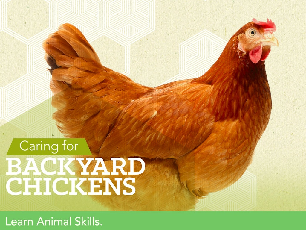 Caring for Backyard Chickens | WeTeachMe