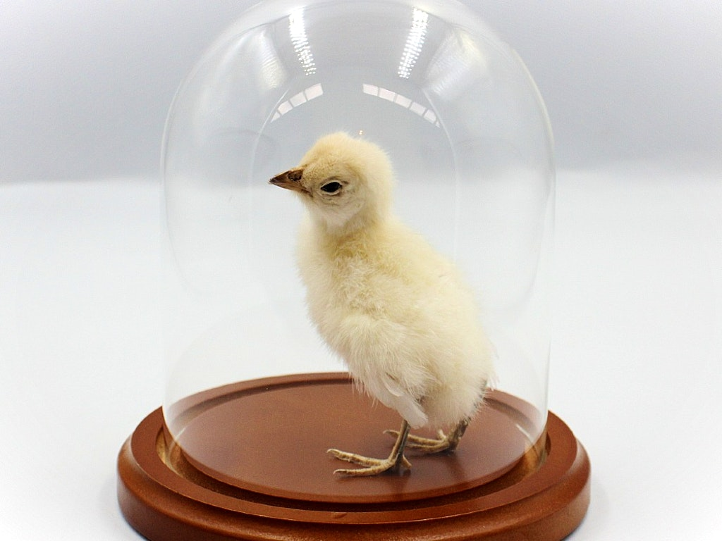 Baby Chick Workshop